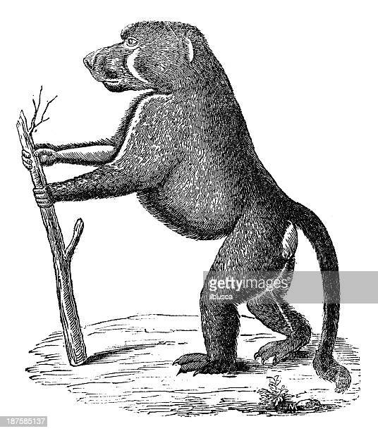 antique illustration of chacma baboon - baboon stock illustrations