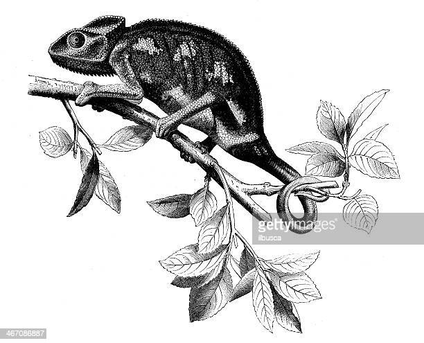 antique illustration of chameleon - chameleon stock illustrations, clip art, cartoons, & icons
