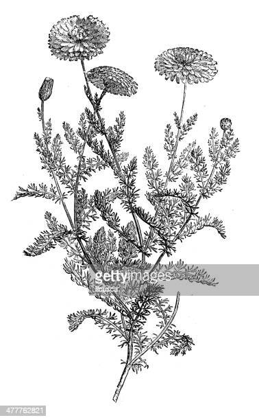 ilustraciones, imágenes clip art, dibujos animados e iconos de stock de ilustración de antigüedades de manzanilla (matricaria chamomilla) - planta de manzanilla