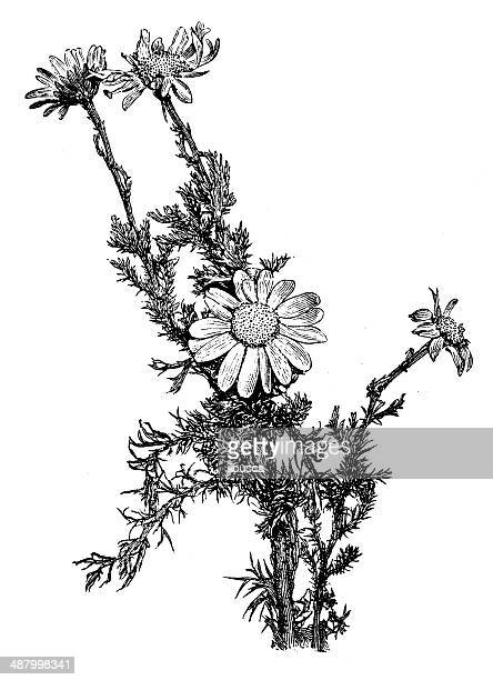 ilustraciones, imágenes clip art, dibujos animados e iconos de stock de ilustración de antigüedades de manzanilla (chamaemelum nobile, anthemis nobilis) - planta de manzanilla