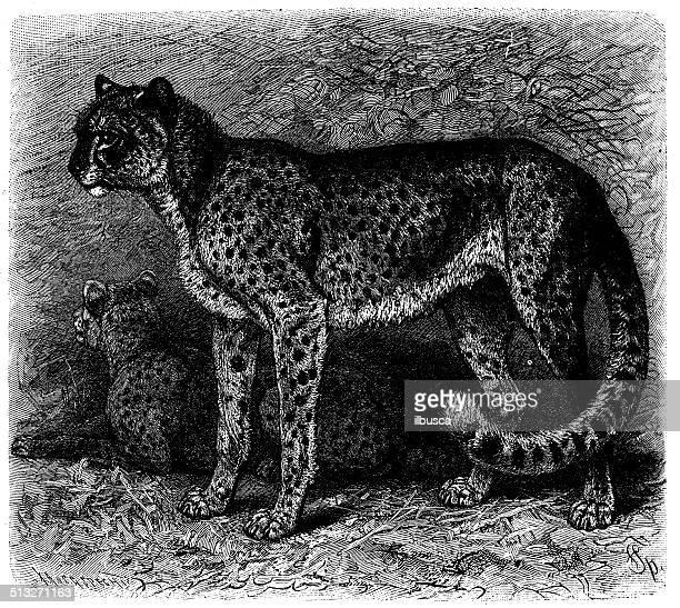 Antique illustration of cheetah (Acinonyx jubatus)