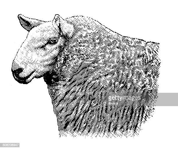 antique illustration of cheviot ewe - sheep stock illustrations, clip art, cartoons, & icons