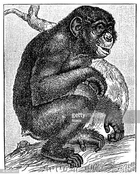 stockillustraties, clipart, cartoons en iconen met antique illustration of chimpanzee - chimpanzee