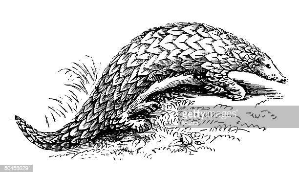 antique illustration of chinese pangolin (manis pentadactyla) - pangolin stock illustrations