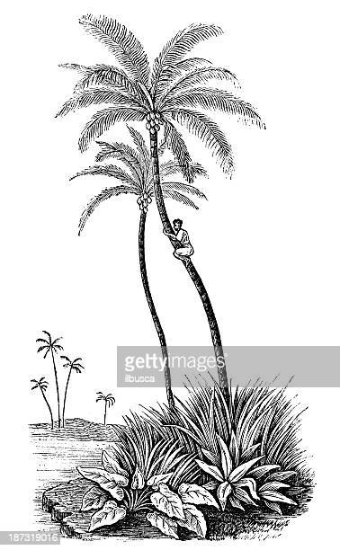 antique illustration of coconut palm (cocos nucifera) - coconut palm tree stock illustrations, clip art, cartoons, & icons
