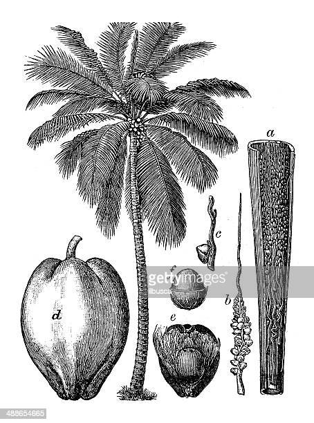 antique illustration of coconut palm (cocos nucifera) - coconut leaf stock illustrations, clip art, cartoons, & icons