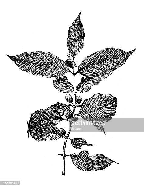 antique illustration of coffee tree - roasted coffee bean stock illustrations