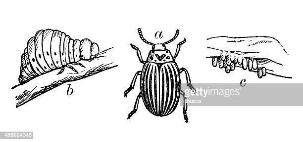 Antique illustration of Colorado potato beetle (Leptinotarsa decemlineata)
