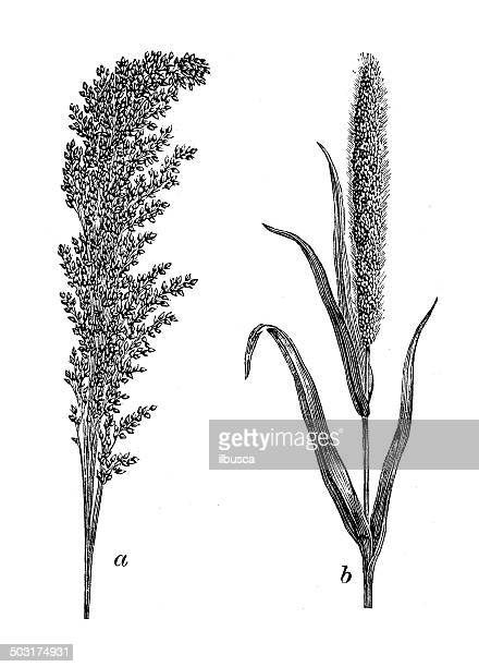 antique illustration of common and german millet - millet stock illustrations