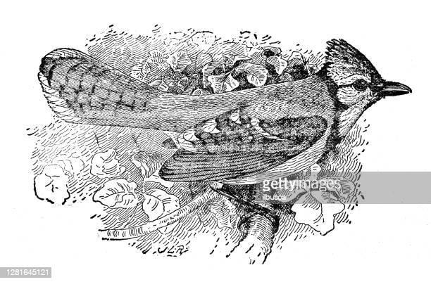 """illustrazioni stock, clip art, cartoni animati e icone di tendenza di antique illustration of common blue jay - """"ilbusca"""""""
