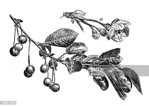 Antigüedades de ilustración comunes de cerezo