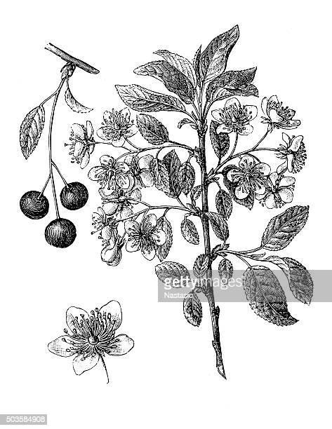 Ancienne illustration de cerisier commune