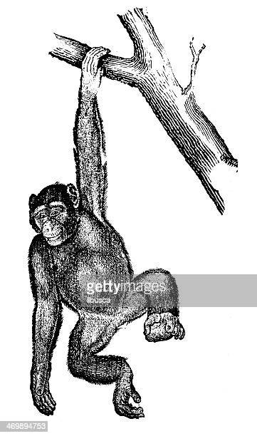 stockillustraties, clipart, cartoons en iconen met antique illustration of common chimpanzee (pan troglodytes) - chimpanzee