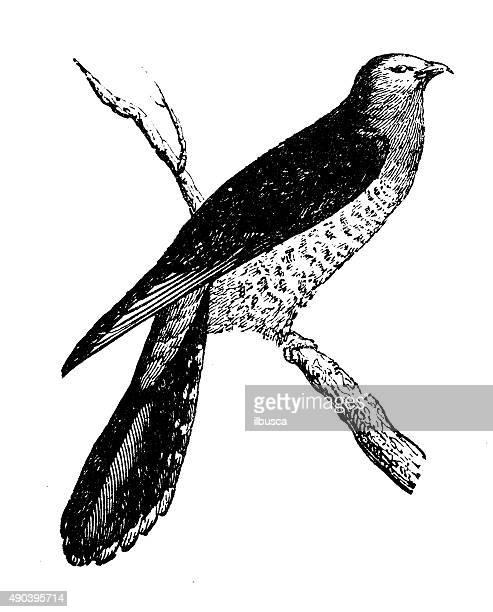 Antigüedades de ilustración comunes de cucú (Cuculus canorus