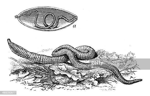 Illustrations et dessins anim s de ver de terre getty images - Dessin de ver de terre ...