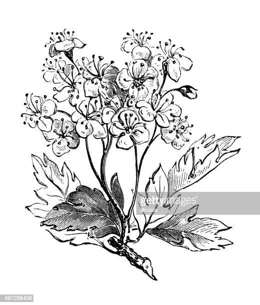 antique illustration of common hawthorn - hawthorn,_victoria stock illustrations
