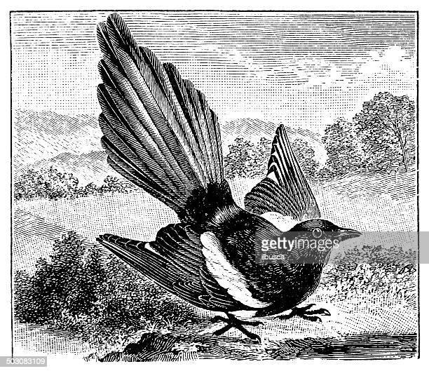antique illustration of common magpie (pica pica) - magpie stock illustrations