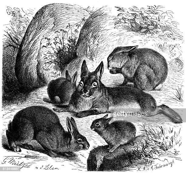 ilustraciones, imágenes clip art, dibujos animados e iconos de stock de antigüedades de ilustración comunes de conejo (oryctolagus cuniculus) - grupo grande de animales