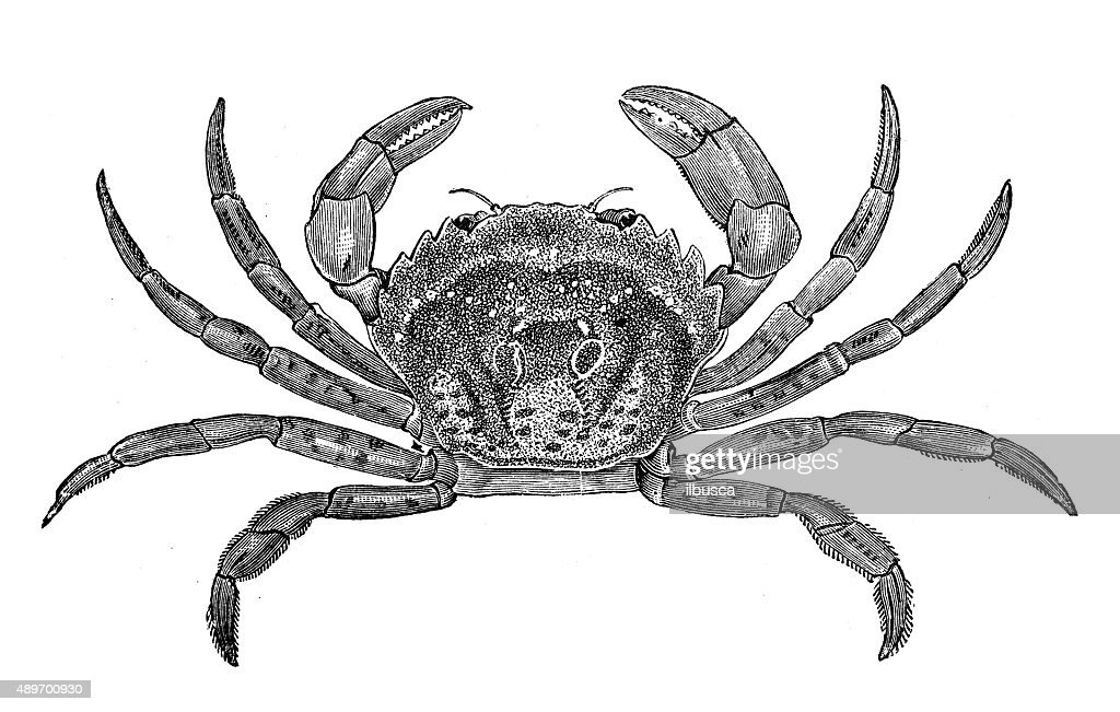 Antique illustration of common shore crab (Carcinus maenas) : stock illustration