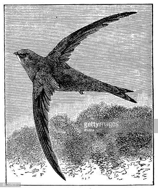 antique illustration of common swift (apus apus) - swift river stock illustrations