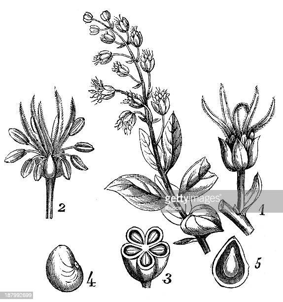 antique illustration of coriaria myrtifolia (redoul) - plant stage stock illustrations, clip art, cartoons, & icons