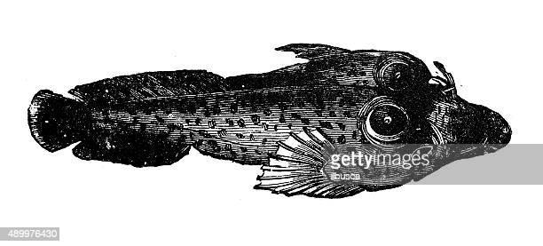 Anticuario ilustración de Cornualles succionador o shore clingfish (lepadogaster lepadogaster