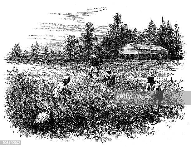 antique illustration of cotton field with workers - cotton stock illustrations, clip art, cartoons, & icons