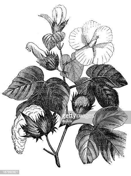 antique illustration of cotton plant - cotton stock illustrations, clip art, cartoons, & icons