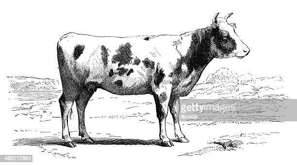 illustrations, cliparts, dessins animés et icônes de ancienne illustration de vache - vache