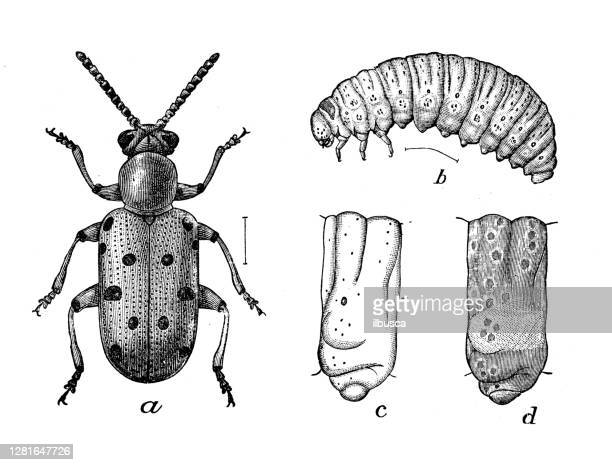 """illustrazioni stock, clip art, cartoni animati e icone di tendenza di antique illustration of crioceris 12-punctata - """"ilbusca"""""""