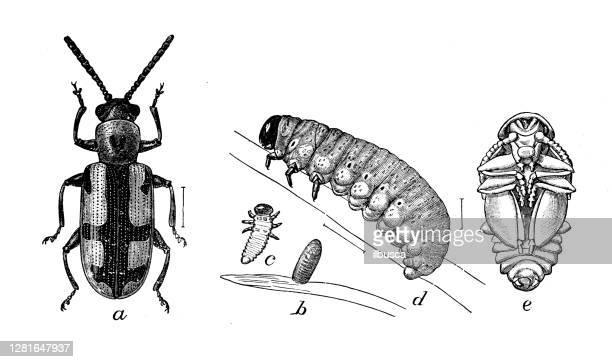 """illustrazioni stock, clip art, cartoni animati e icone di tendenza di antique illustration of crioceris asparagi - """"ilbusca"""""""