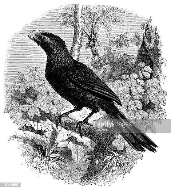 Antiguidade ilustração de Crotophaga Ani