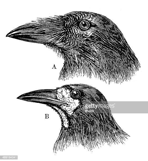 ilustraciones, imágenes clip art, dibujos animados e iconos de stock de anticuario ilustración de gallo de cabeza - cuervo