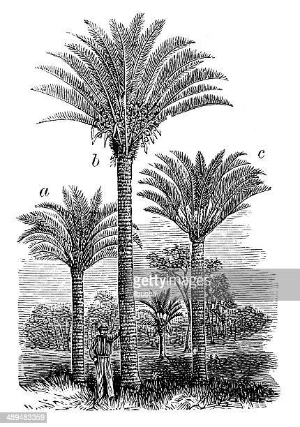 Antique illustration of Cycas media