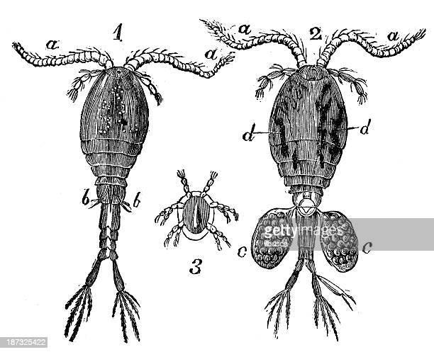 antique illustration of cyclops (water flea) - cyclops stock illustrations, clip art, cartoons, & icons