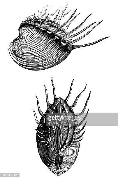 ilustraciones, imágenes clip art, dibujos animados e iconos de stock de anticuario ilustración de cytherea diona (pitar o hysteroconcha diona) - cytherea