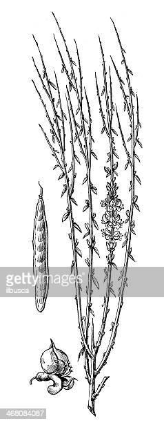 antique illustration of cytisus scoparius - scotch whiskey stock illustrations, clip art, cartoons, & icons
