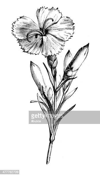 antique illustration of dianthus caryophyllus (carnation) - carnation flower stock illustrations, clip art, cartoons, & icons