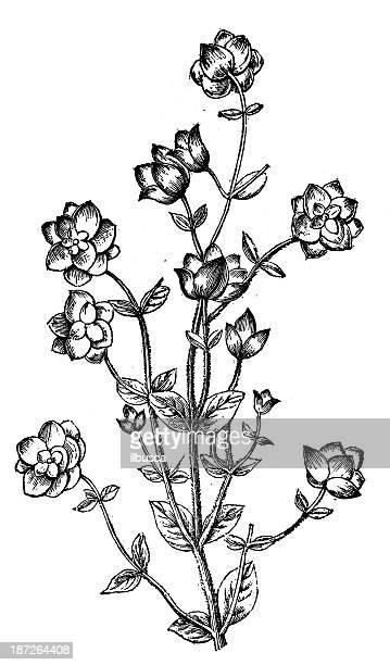 Antique illustration of Dictamnus albus (burning bush, white dittany, Fraxinella)