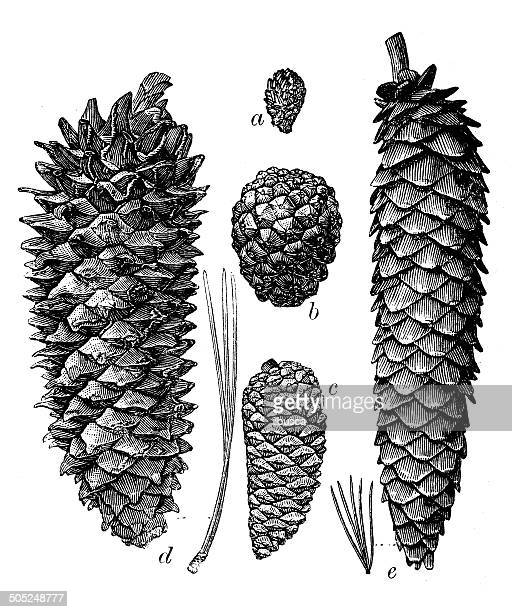 antique illustration of different pine cones - pine wood material stock illustrations, clip art, cartoons, & icons