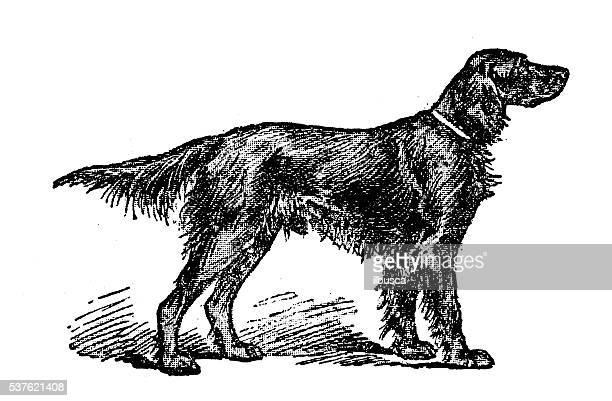 Antique illustration of dog (Irish Setter)