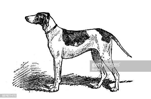 antique illustration of dog (braque du puy) - pointer dog stock illustrations