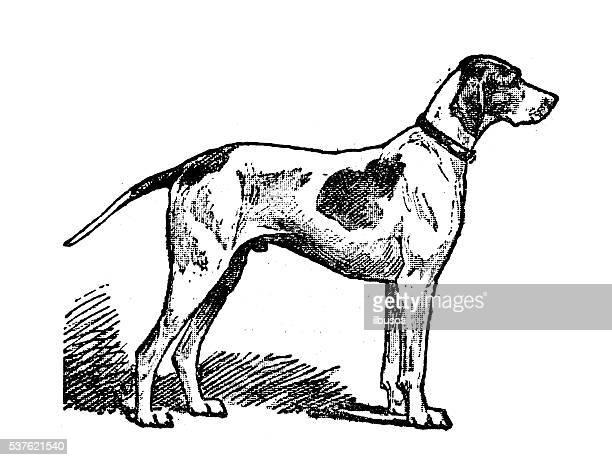 Ilustraciones De Stock Y Dibujos De Perro Cazador