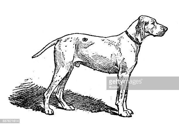 antique illustration of dog (ariege pointer) - midi pyrénées stock illustrations, clip art, cartoons, & icons