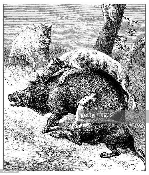 Anticuario ilustración de perros ataca a los jabalíes