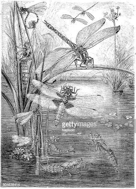 antique illustration of dragonfly - odonata stock illustrations, clip art, cartoons, & icons