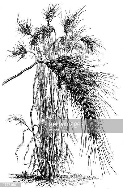 ilustraciones, imágenes clip art, dibujos animados e iconos de stock de anticuario ilustración de orejas de trigo - espiga de trigo
