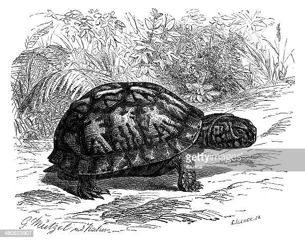 antique illustration of eastern box turtle (terrapene carolina carolina) - box turtle stock illustrations