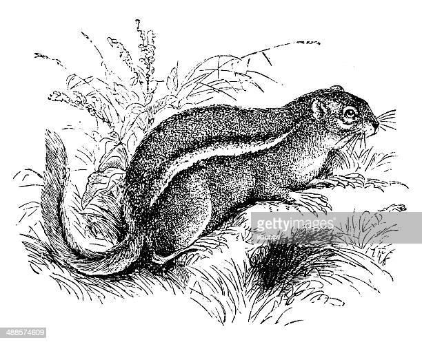 antique illustration of eastern chipmunk (tamias striatus) - chipmunk stock illustrations
