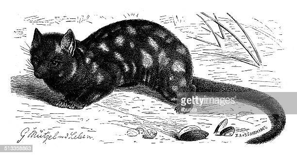 Antique illustration of eastern quoll (Dasyurus viverrinus)